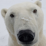 A polar bear (Ursus maritimus) looks in to the camera cage of Buggy One.. Churchill, Manitoba, Canada