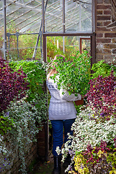 Bringing a tender pelargonium pot plant into a greenhouse to overwinter