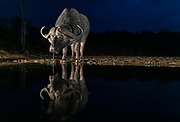 Cape buffalos (Syncerus caffer) drinking in Zimanga Private Reserve, South Africa, just before dawn.