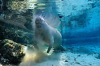 Florida manatee, Trichechus manatus latirostris, a subspecies of the West Indian manatee, endangered. Series of snout in sand behavior. A manatee rises for a breath with sand all around it after having its snout moving around in the sand. Researches theorize this behavior is sieving through sand to get minerals or nourishment , or it could be scrubbing its mouth or teeth, or maybe it just feels good as the snout is very sensitive. Horizontal orientation at the perimeter of the spring with beautiful sun rays and blue spring water. Three Sisters Springs, Crystal River National Wildlife Refuge, Kings Bay, Crystal River, Citrus County, Florida USA.