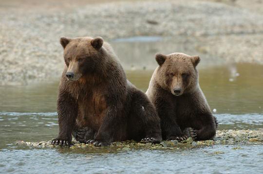 Alaskan Brown Bear, (Ursus middendorffi)Mother and cub. Katmai National Park. Alaska.