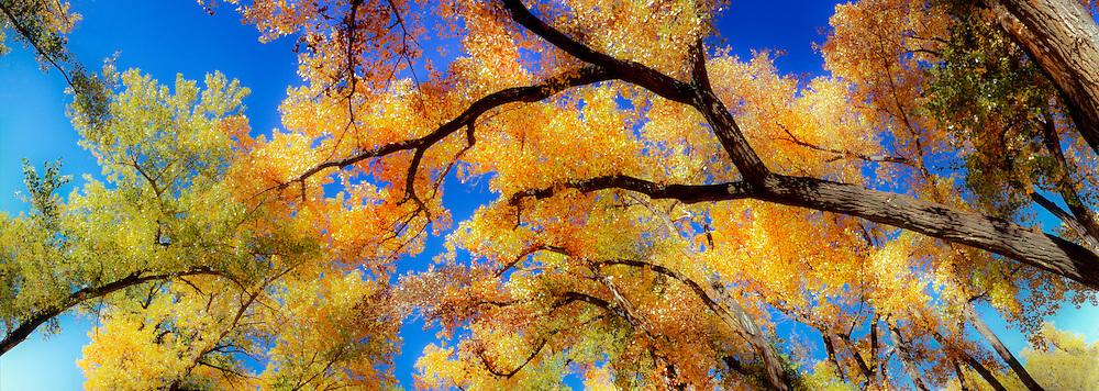 Autumn cottonwoods, Riverside Park, Palisade, Colorado, panorama