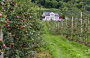 Growing apples in Ullensvang (Hardanger, Vestland), Norway.