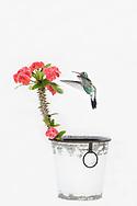 Male Broad-Billed Hummingbird in flight on  red flower