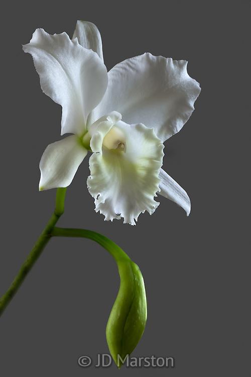Cattleya, white #5