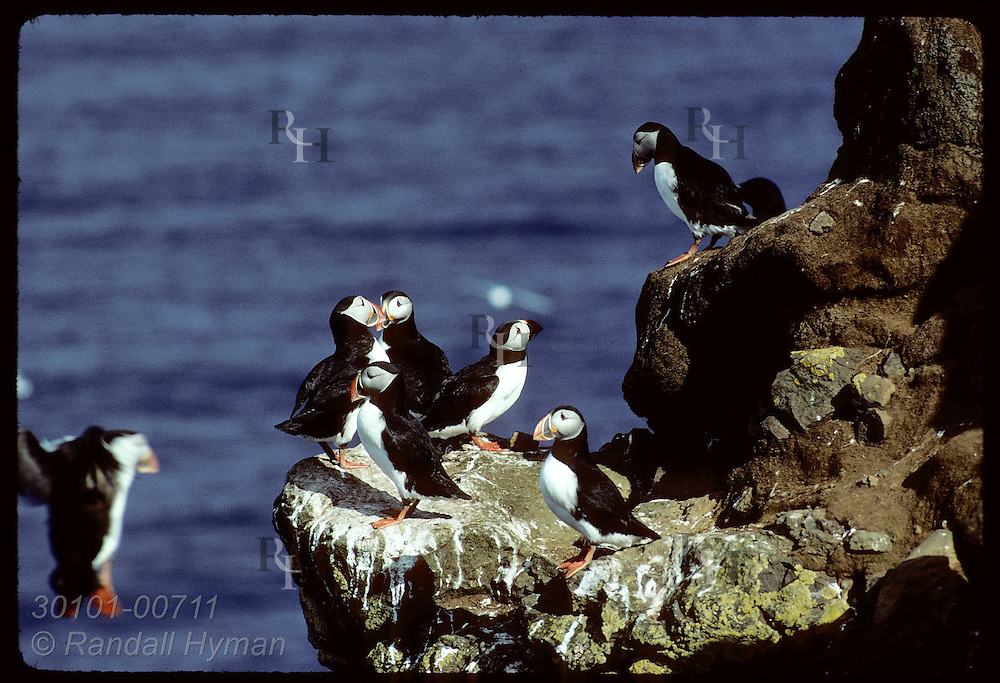 Puffins crowd onto rocky cliff-top ledge as another bird tries to land; August, Westmann Island Iceland