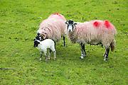 New born lamb and sheep, Lake District, Cumbria, England, UK