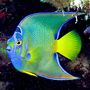 Queen Angelfish inhabit reefs and surrounding areas in Tropical West Atlantic; picture taken Grand Turk.