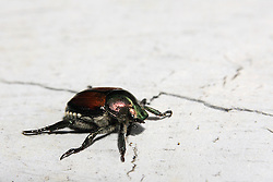 30 June 2007: Japanese Beetle (Popillia japonica Newman), a highly destructive pest to many ornamental trees and shrubs including flowering crab, white birch, and roses.  The beetle has a shiny copper back and a greenish colored head. (Photo by Alan Look)