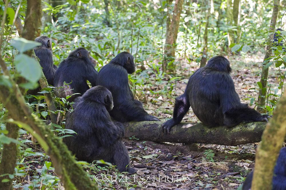 Chimpanzee<br /> Pan troglodytes<br /> Out on hunting patrol for colobus monkeys<br /> Tropical forest, Western Uganda