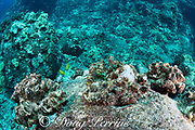 in a row of dead overgrown cauliflower corals, Pocillopora meandrina (killed in the 2015 bleaching event), a small recruit coral has bleached white during the summer 2019 bleaching event, caused by a marine heat wave, Kohanaiki, North Kona Coast, Hawaii Island ( the Big Island ) Hawaii, USA ( Central Pacific ); the new recruit will likely die, too