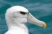 White-capped Albatross Pictures - Photos