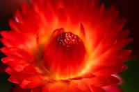 Softly focused red Strawflower