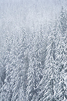 Snow covered trees, Mount Baker-Snoqulamie National Forest, North Cascades Washington
