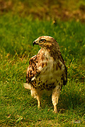 """This Red-tailed Hawk was stalking insects and small rodents in the grass at Mount Auburn Cemetery in Cambridge, Massachusetts.  <br /> <br /> The Red-tailed Hawk (Buteo jamaicensis), also sometimes known as a """"chicken hawk"""", is one of the most common buteos in North America.  These hawks most commonly prey on small mammals such as rodents, but they will also consume birds, fish, reptiles, and amphibians.  Usually, they will eaither swoop down from an elevated location or attack in midair.  <br /> <br /> These hawks breed throughout most of North America, from western Alaska and northern Canada to as far south as Panama and the West Indies.  There are fourteen recognized subspecies, which vary in appearance and range. The Red-tail typically has a wingspan of 43 to 57 inches, being 18 to 26 inches in length and weighing 1.5 to 3.5 pounds, thus making it one of the largest members of the genus Buteo in North America."""