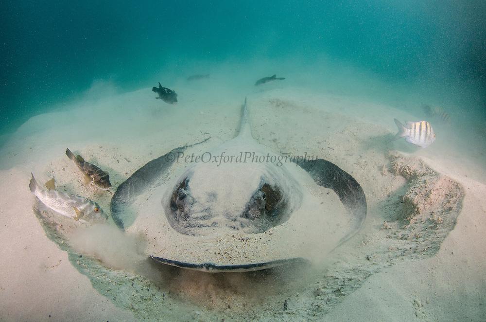 Diamond Stingray (Dasyatis brevis)<br /> GALAPAGOS ISLANDS,<br /> Ecuador, South America
