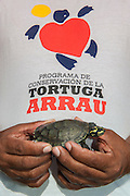 Giant River Turtle (Podocnemis expansa) yearlings being held by Hidalgo Hector Tovar <br /> CAPTIVE-REARING PROGRAM FOR REINTRODUCTION TO THE WILD<br /> CITES II      IUCN ENDANGERED (EN)<br /> Playita Beach, (mid) Orinoco River, 110 Km north of Puerto Ayacucho. Apure Province, VENEZUELA. South America. <br /> L average 90cm, Wgt 30-45kg. Largest fresh water river turtle in South America. Eggs round & 42mm. 90-100 per clutch. 6-8 weeks incubation.<br /> Females come ashore to sun themselves for several days before laying to boost egg development.  They lay when the river is at its lowest. Herbacious and live in white or black water rivers moving into flooded forests of the Amazon during the wet season to feed on fallen seeds and fruit.<br /> RANGE: Amazonia, Llanos & Orinoco of Colombia, Venezuela, Brazil, Guianas, Ecuador, Peru & Bolivia.<br /> Project from Base Camp of the Protected area of the Giant River Turtle (& Podocnemis unifilis). (Refugio de Fauna Silvestre, Zona Protectora de Tortuga Arrau, RFSZPTA)<br /> Min. of Environment Camp which works in conjuction with the National Guard (Guardia Nacional) who help enforce wildlife laws and offer security to camp. From here the ministery co-ordinate with other local communities along the river to hand-rear turtles for the first year of their life and then release them. They pay a salary to a person in each community that participates in the project as well as providing all food etc. The turtles are protected by law and there is a ban on the use of fishing nets in the general area. During egg laying season staff sleep on the nesting beaches to monitor the nests.  All nests layed on low lying ground are relocated to an area not likely to flood. They are then surrounded by a net to catch all hatchlings who will then spend the first year of their life in captivity to increase their chances of survival. Biometric data is taken from any female they find that has layed eggs and is returning