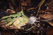 Amazon Horned Frog eating mouse<br />Ceratophrys cornuta<br />Amazon Rain Forest, ECUADOR     South America