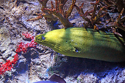 14 May 2013:  Green Moray. This animal is a captive animal and well cared for by a zoo.