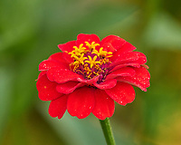 Zinnia Image taken with a Leica CL camera and Sigma 100-400 mm lens