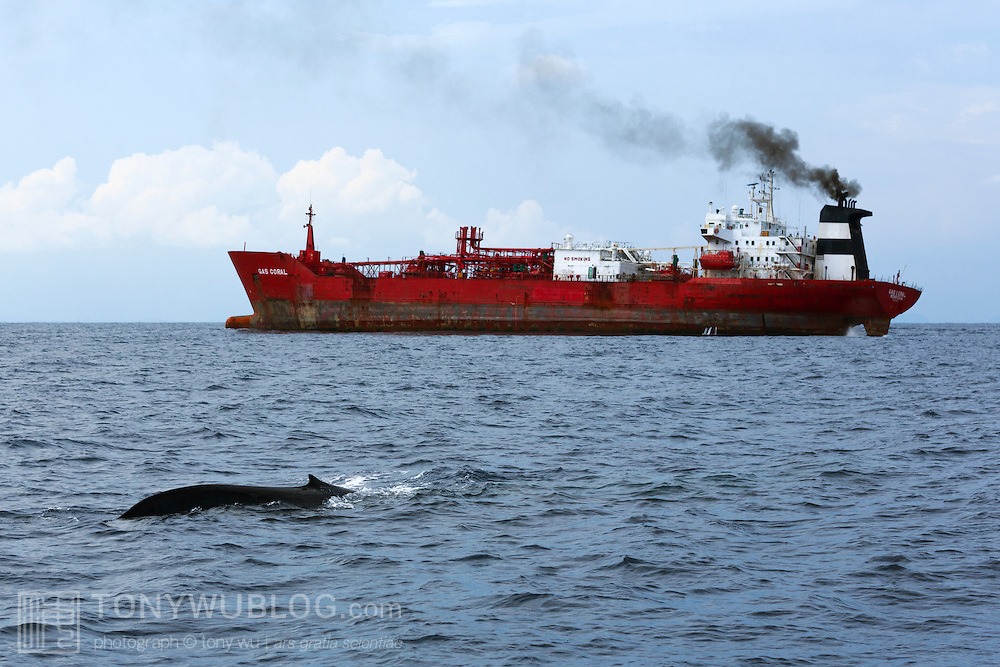 The shipping lanes south of Sri Lanka are among the busiest in the world. Blue whales (Balaenoptera musculus brevicauda) and other cetaceans often congregate in these shipping lanes to feed on krill below. The potential for lethal ship strikes is clear.