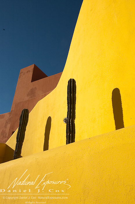 Saguaro cacti stand against a yellow wall. Mexico.