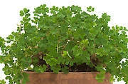 close up of a clover plant in a pot against a white background