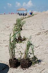 Dune restoration on Galveston Island, Texas