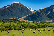 Sheep graze on Rees Station in the Rees Valley under snowy Mt Earnslaw (or Pikirakatahi 2830m / 9249 ft) in Otago region, South Island of New Zealand. In 5 days, we tramped the strenuous Rees-Dart Track for 39 miles plus 12.5 miles side trip to spectacular Cascade Saddle, in Mount Aspiring National Park, Southern Alps, Otago region, South Island of New Zealand.