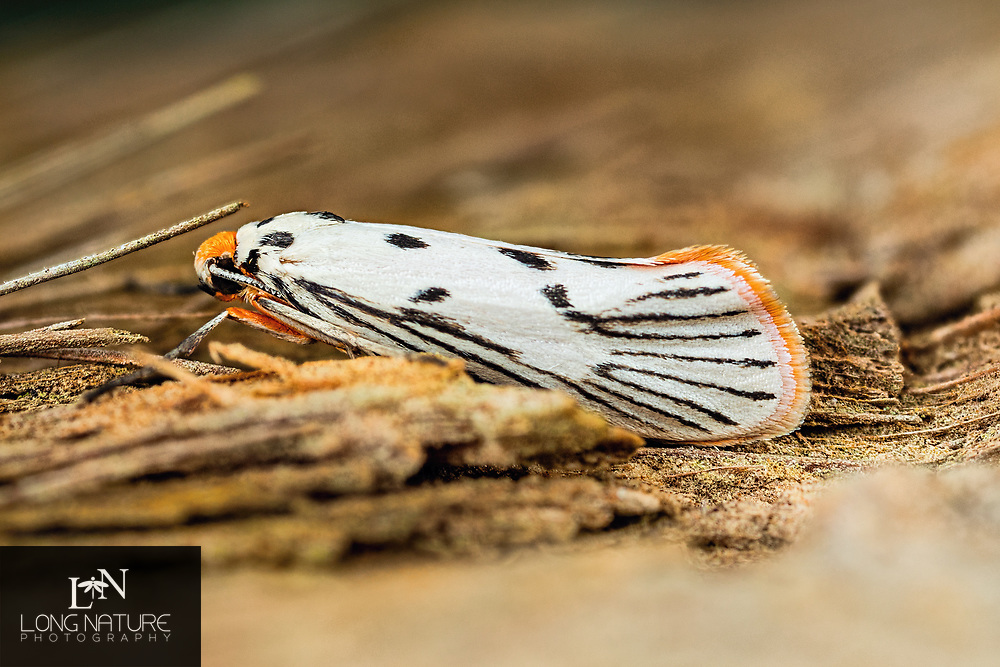 Lactura pupula -  Bumelia Leafworm Moth.  Mesic oak forest, Enchanted Forest Sanctuary, Titusville, Florida USA