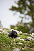 Mellow the Black Marmot, near Surprise Lake, 3000m up in Grand Teton National Park, Wyoming. This rather large marmot certainly was a surprise. When we first spotted this black furry creature, stretched out on some rocks, I thought, what the hell, is this a baby black bear? A wolverine? Marmots, you see, particularly the yellow-bellied species found here, usually have a brown coat, a white patch between the eyes, a reddish-brown tail, and of course, a yellow belly. What I didn't know, until I got back to an internet connection is that there's a bunch of black (melanistic, or black phase marmots) hiding out in Grand Teton National Park. Marmots are usually shy animals, often with one sentinel posted as a lookout in the rocks and boulders they like to inhabit. This guard usually alerts the others with a whistle. Not this marmot. For several minutes he yawned, scratched, dozed, woke up, stared at us, dozed off again. The cycle was repeated several times, without the marmot budging from its position. We named him, or her, Mellow, as she was clearly not shy, or really bothered about anything other than dozing in the sun.