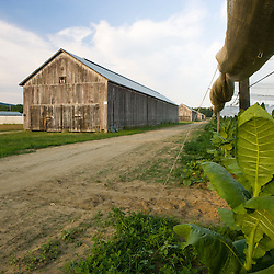 A tobacco barn next to a field of shade grown tobacco in Hadley, Massachusetts.