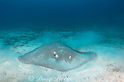reticulate whipray, honeycomb stingray, or coachwhip ray, Himantura uarnak, feeding on bottom on seamount in Kei ( or Kai ) Islands, Moluccas, eastern Indonesia, Banda Sea, Southwest Pacific Ocean