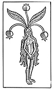 Female Mandrake plant.Woodcut from Johannis de Cuba 'Ortus Sanitatis', Strasbourg, 1483.  A soporific was obtained from the root and its properties were probably known to the Babylonians. Roman army surgeons are said to have used Mandrake wine as an anaesthetic.
