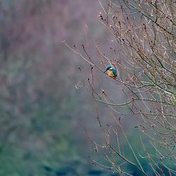 """Guarda-rios-comum (alcedo atthis) fotografado na Alemanha, na Unição Européia - Europa. Registro feito em 2016.<br /> ⠀<br /> <br /> ENGLISH: Common kingfisher photographed in Germany, in European Union - Europe. Picture made in 2016."""