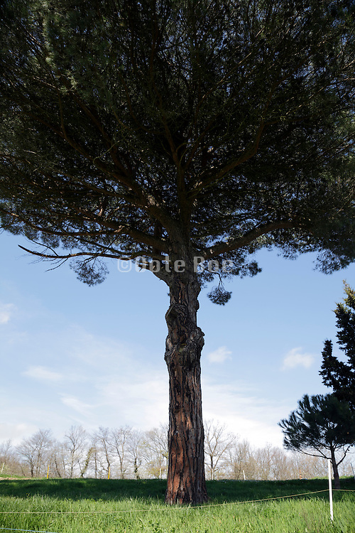 trunk and part of the crown of a pine tree