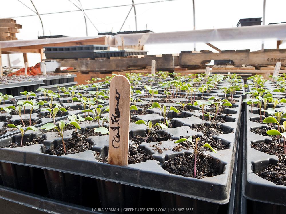 Cauliflower seedlings in a greenhouse