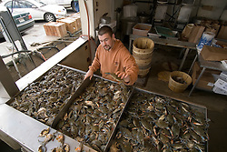 Washington DC, Food, fresh fish and shellfish market on Maine Ave, selling Chesapeake Bay blue crab and various fish, such as fillet of red snapper, all fresh and live off the boats.  Photo is of a man with blue crabs..Photo  wash99326-70717..Photo copyright Lee Foster, www.fostertravel.com, lee@fostertravel.com, 510-549-2202.