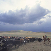 Ranching, roper trying to rope calf in corral to brand. Storm clouds moving across prairie. Montana.