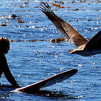 A pelican glides by a surfer waiting for a wave at Steamer Lane in Santa Cruz, California.<br /> Photo by Shmuel Thaler <br /> shmuel_thaler@yahoo.com www.shmuelthaler.com
