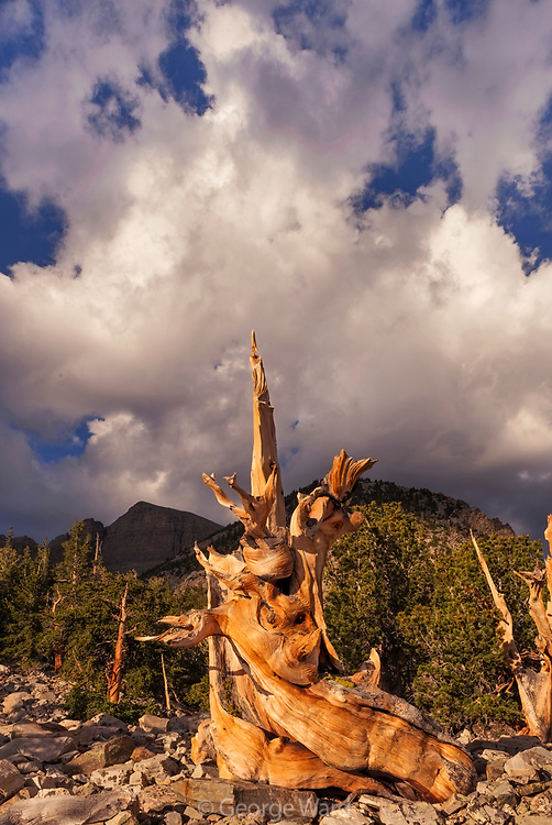 Ancient Bristlecone Pine and Clouds at Sunrise, Great Basin National Park, Nevada
