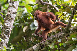 A young orangutan (orang-outan) cross from the a branch to other branch in Danum Valley Conservation Area, on August 5, 2019 near Lahad Datu city, State of Sabah, North of Borneo Island, Malaysia. Palm oil plantations are cutting down primary and secondary forests vital as habitat for wildlife including the critically endangered Bornean and Sumatran orangutans. Photo by Emy/ABACAPRESS.COM