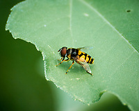 Hoverfly on a leaf. Image taken with a Nikon 1 V3 camera and 70-300 VR lens.