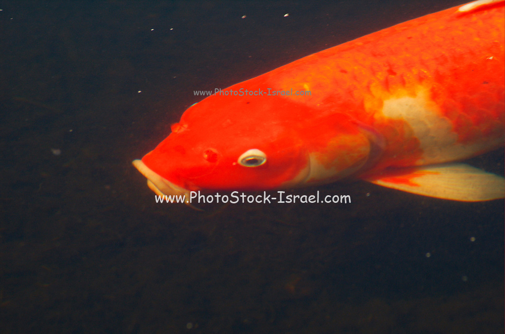 a large gold fish swimming in a pond