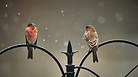 Pair of male House Finches on a snowy day. Image taken with a Nikon D5 camera and 600 mm f/4 VRII lens (ISO 1600, 600 mm, f/4, 1/800 sec).