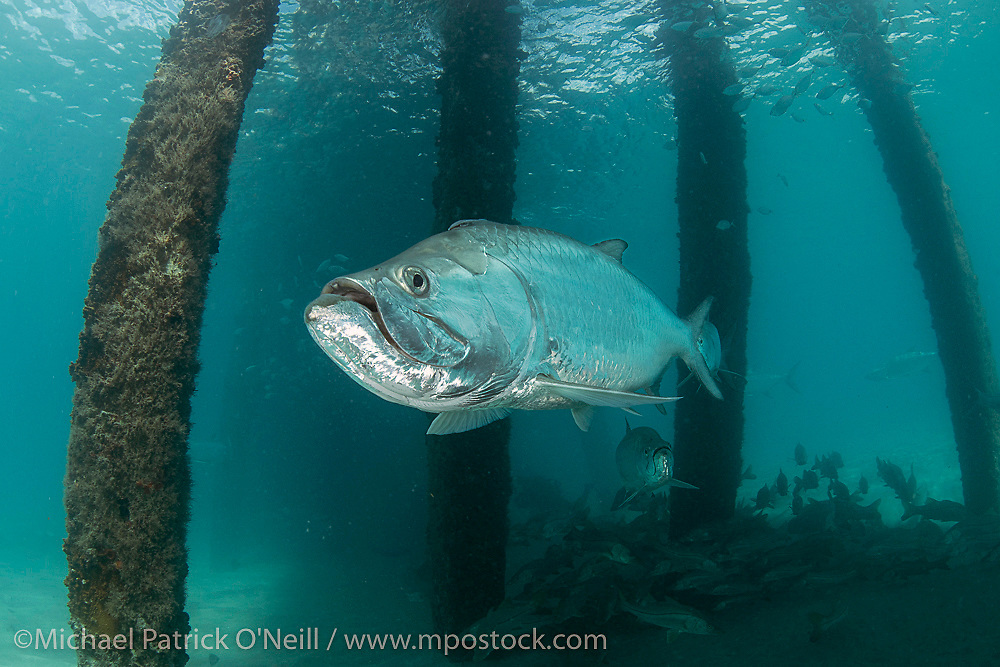 Atlantic Tarpon, Megalops atlanticus,, gather underneath the Lake Worth Pier near Palm Beach, Florida during late May to spawn and feed on baitfish.