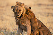 A playful lion cub (Panthera leo) jumps on the head of a large male lion who snarls in return, Savuti, Botswana