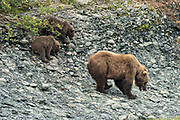 Brown bear spring cubs climb down from a bluff to join their mother along the lower lagoon at the McNeil River State Game Sanctuary on the Kenai Peninsula, Alaska. The remote site is accessed only with a special permit and is the world's largest seasonal population of brown bears in their natural environment.