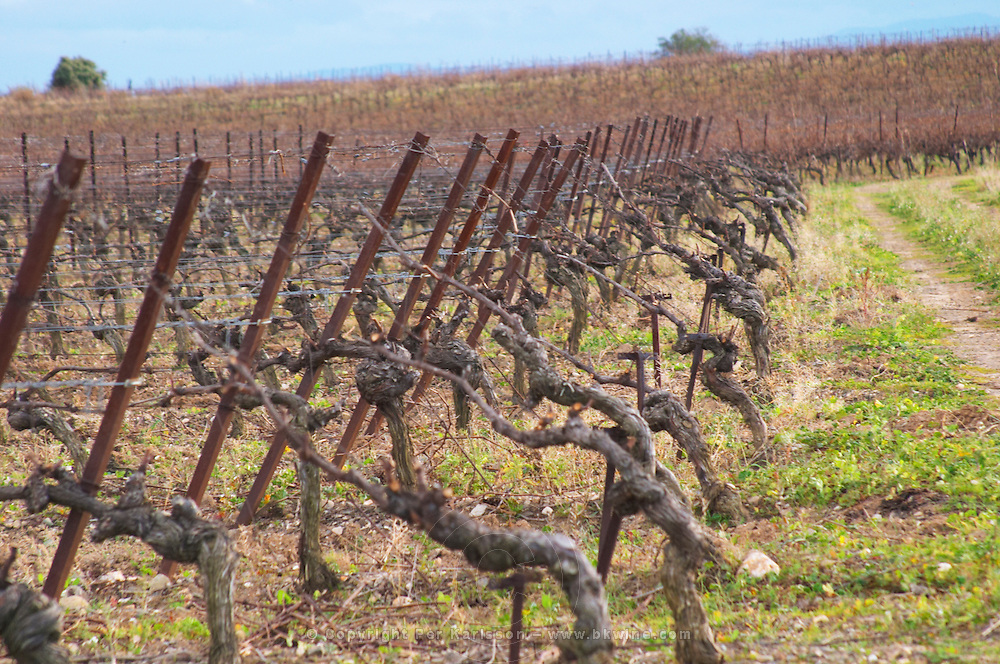 Domaine Piccinini in La Liviniere Minervois. Languedoc. Vines trained in Cordon royat pruning. France. Europe. Vineyard.