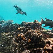 Galapagos penguin (Spheniscus mendiculus) swimming off Bartolome Islet, Santiago Island, Galapagos, Ecuador.